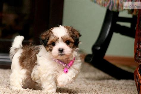 puppies for sale in sioux city 219 best adorable designer puppies for sale images on puppies the o jays