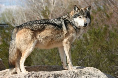 scottsdale wildlife center saves mexican gray wolf from