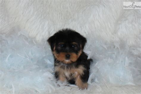yorkies for sale in dallas terrier yorkie puppy for sale near dallas fort worth 2d95062e d951