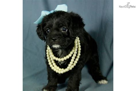 pugs for sale in tulsa pugapoo puppy for sale near tulsa oklahoma ac943840 1fd1