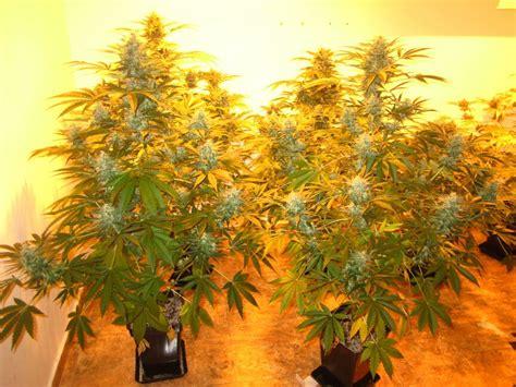 como saber cuando cortar tu planta de marihuana og kush cuando cortar marihuana fotos de la cosecha
