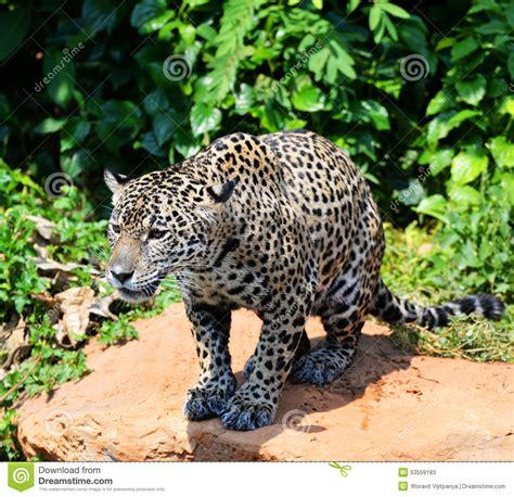 cats that look like jaguars jaguar stock image image of jaguar stalking something