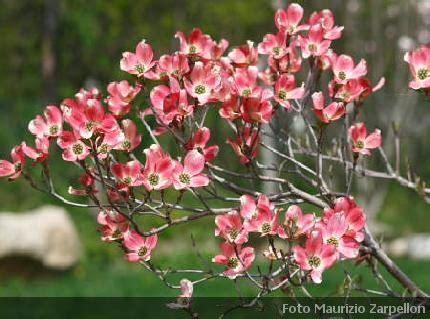 mondo fiorito pieris arbusti sempreverdi da fiore da giardino e da siepe