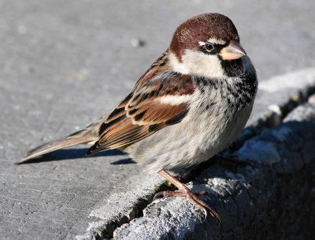passerotto alimentazione uccelli mondo agricolo le specie sono in diminuzione
