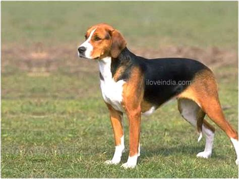 haired big dogs large breeds hair www imgkid the image kid has it
