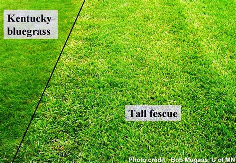perennial ryegrass vs tall fescue www pixshark com images galleries with a bite
