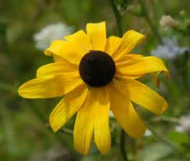 What Is The Maryland State Flower - black eyed susan medicinal uses and benefits