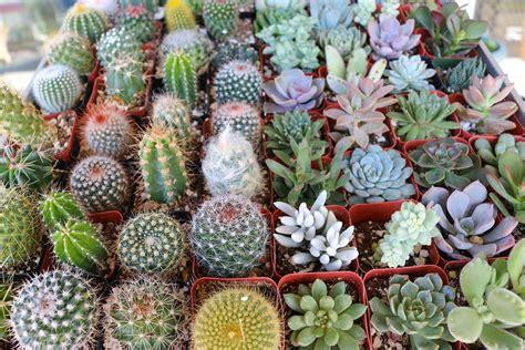 """2"""" Succulent & Cactus Mix   Succulents for Sale Bulk Succulent Wedding Favors"""