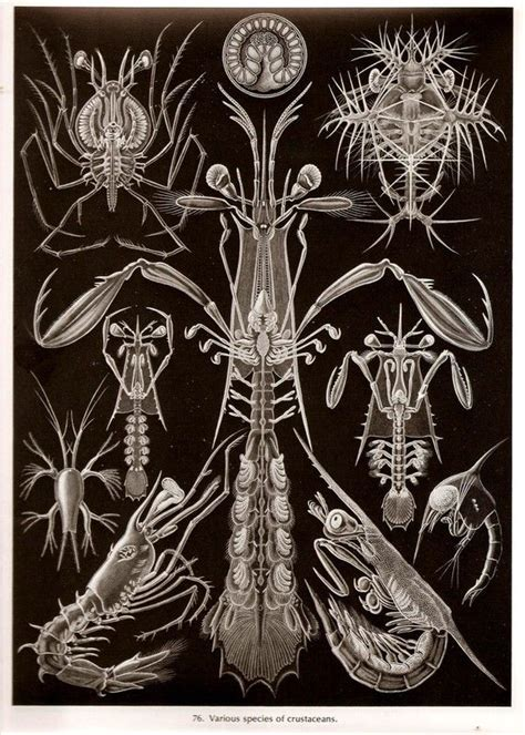 ernst haeckel 97 179 best images about art ernst haeckel on sea shells nature and natural history