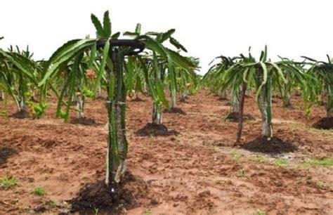 Pupuk Untuk Bunga Buah Naga cara menanam buah naga agar cepat berbuah