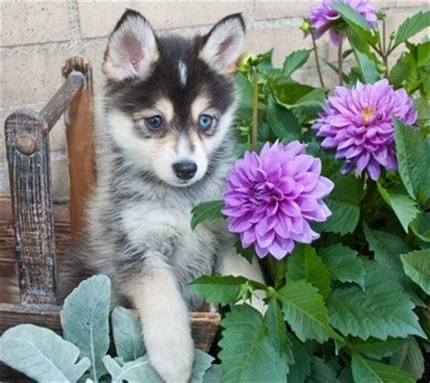 where does the pomeranian come from how much do pomskies cost other facts about pomeranian huskies