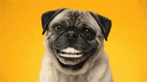 pug with dentures pug with human teeth gif teeth funnyteeth pug discover gifs