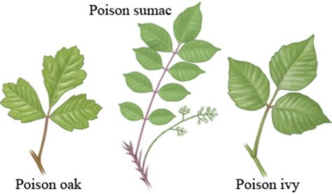 poison ivy oak and sumac information center www poison ivy oak and sumac care instructions