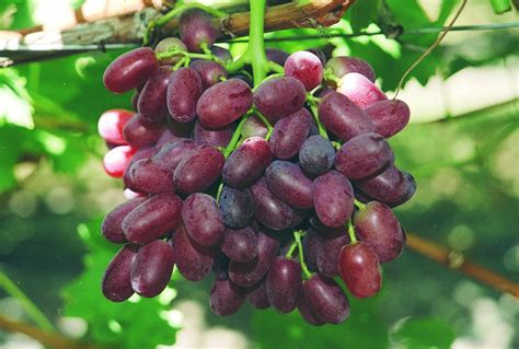 minimum standards of maturity for table grapes in western