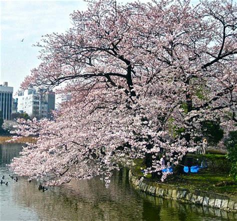 cherry blossom tree zone 5 weeping yoshino cherry cherry blossom trees