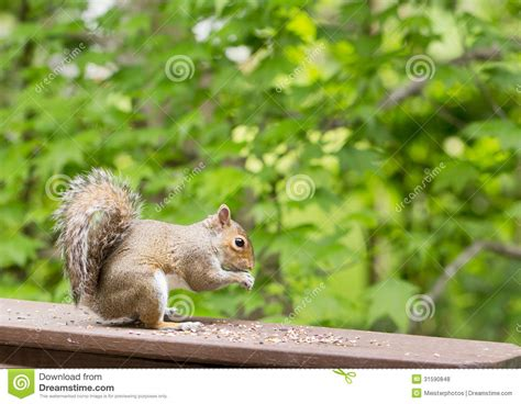 squirrels chewing decks eastern gray squirrel seeds royalty free stock photos image 31590848