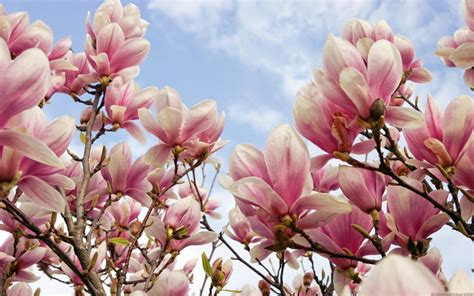 Magnolia Wallpaper by Magnolia Flowers Hd Wallpapers Desktop Backgrounds
