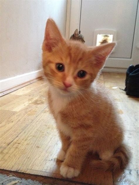 ginger tabby kittens for sale southton hshire pets4homes