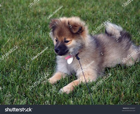 pomeranian 3 months 3 month wolf pomeranian puppy laying on grass stock photo 3500837