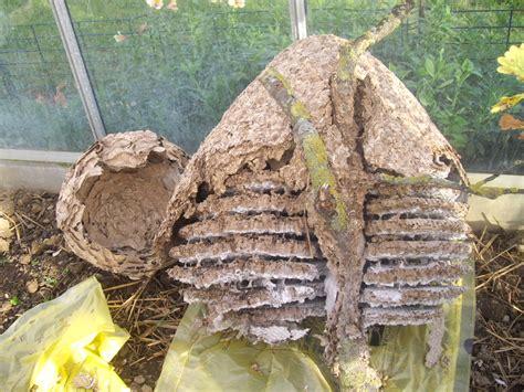 nid de frelons sous les tuiles le nid de frelons asiatiques ecole sainte famille varades
