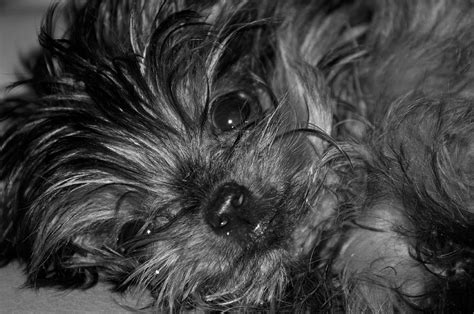 black and white yorkie yorkie in black and white photograph by mcintosh