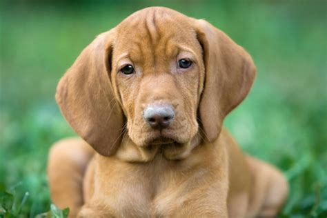 viszla puppies what is the best food for a vizsla