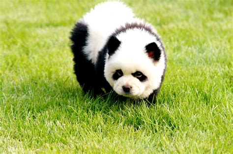 puppies that look like pandas china s pet trend dogs primped to look like pandas new york post