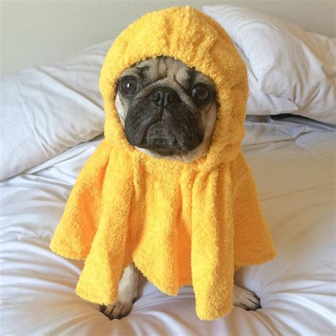 doug the pug instagram doug the pug on instagram quot the 20 minutes after a shower where i just sit in my