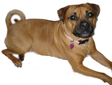 pug mix boxer pug mix free images at clker vector clip royalty free domain