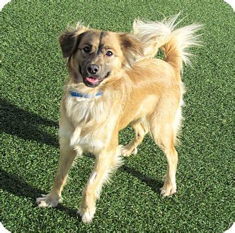 shih tzu and border collie mix house springs mo shih tzu border collie mix meet boo a puppy for adoption