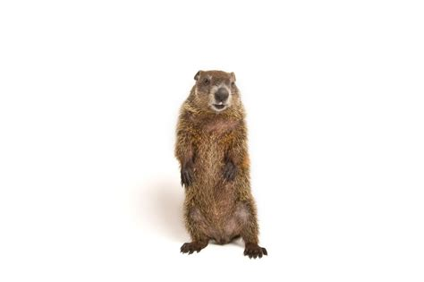 groundhog day new what are groundhogs really looking for for one