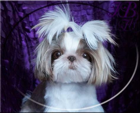 imperial shih tzu puppies for sale in va shih tzu puppies for sale in virginia breeds picture