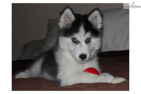 husky puppies for sale in orlando siberian husky puppy for sale near orlando florida 528161a0 33d1