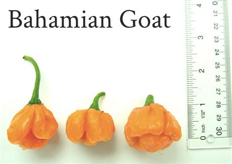 Bibit Cabe Elegance benih bahamian goat pepper