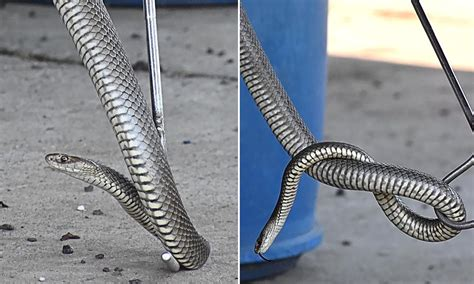 eastern brown snake turns silver   slithers