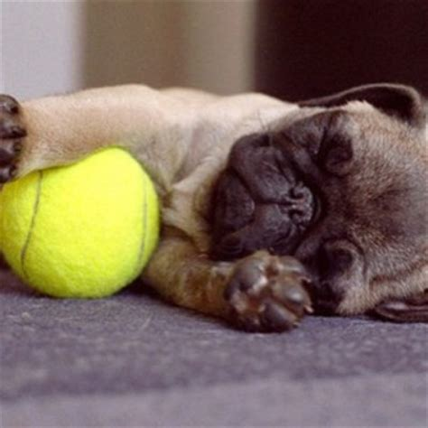 how much is a pug how much does a pug sleeps many