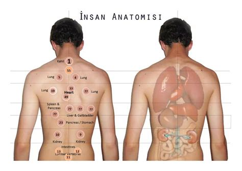 amended points chart with organ names hijama cupping