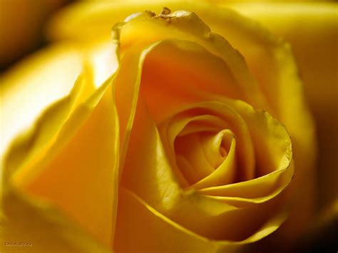 desktop wallpaper yellow roses yellow rose desktop wallpapers free on latoro com