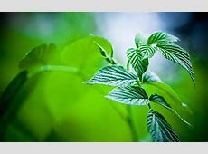mint pictures - HD Desktop Wallpapers | 4k HD Mint Leaves Wallpaper