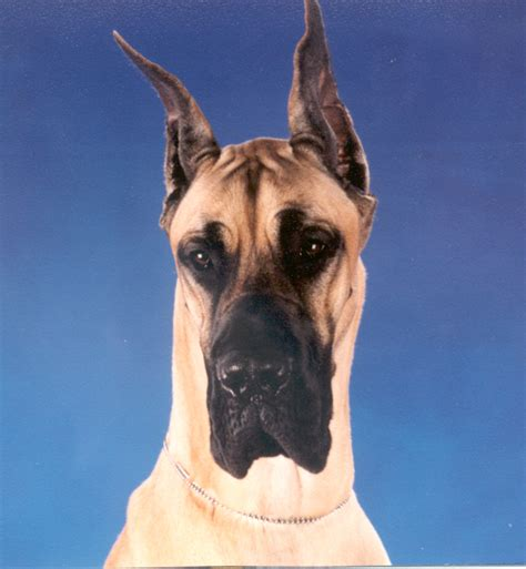 how much to feed a great dane puppy great dane information great danes great dane allergies in dogs