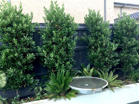 Rosemary Topiary - the bay tree melbourne s alternative to ficus warners nurseries