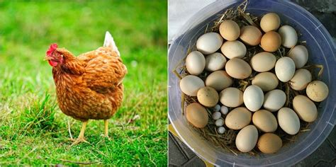 20 convincing reasons to keep backyard chickens