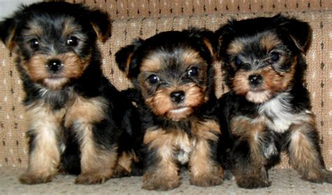 when is a yorkie no longer a puppy small terrier pups epsom surrey pets4homes