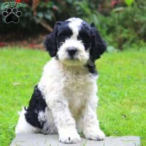 springerdoodle puppies for sale springerdoodle puppies for sale in pa