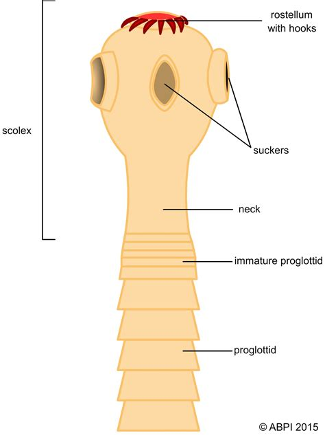 tapeworm scolex diagram linepc