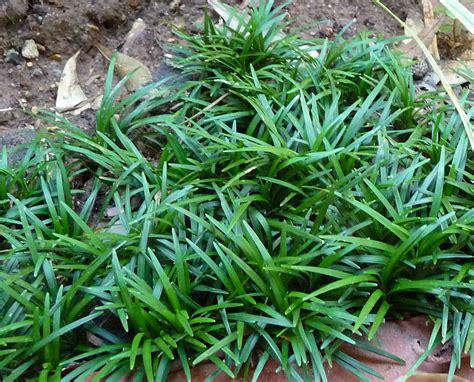 plantwerkz mondo grass ophiopogon japonicus kyoto dwarf