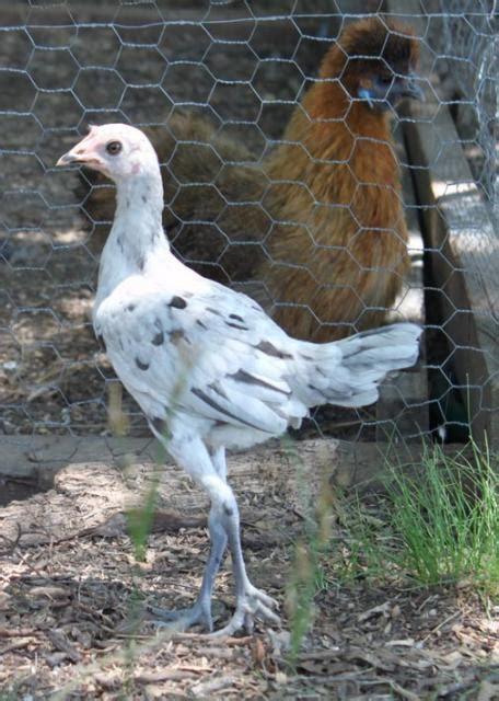 modern bantams page 10 backyard chickens