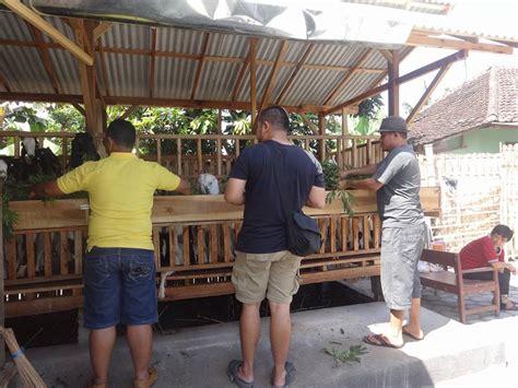 Jual Bibit Kambing Merino jual bibit kambing etawa dan domba di indonesia