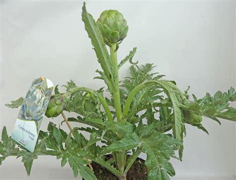 pflanzen bestellen artischocken cynara scolymus pflanzen kaufen