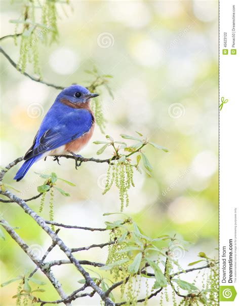male eastern bluebird stock photo image 45623122